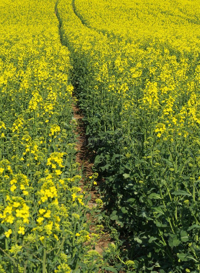Download Tire Track In Cole-seed Field Stock Photo - Image: 9531366