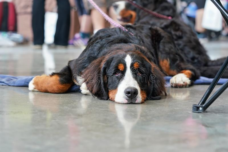 Tired bored Bernese Mountain Dog laying on concrete floor indoor royalty free stock photography