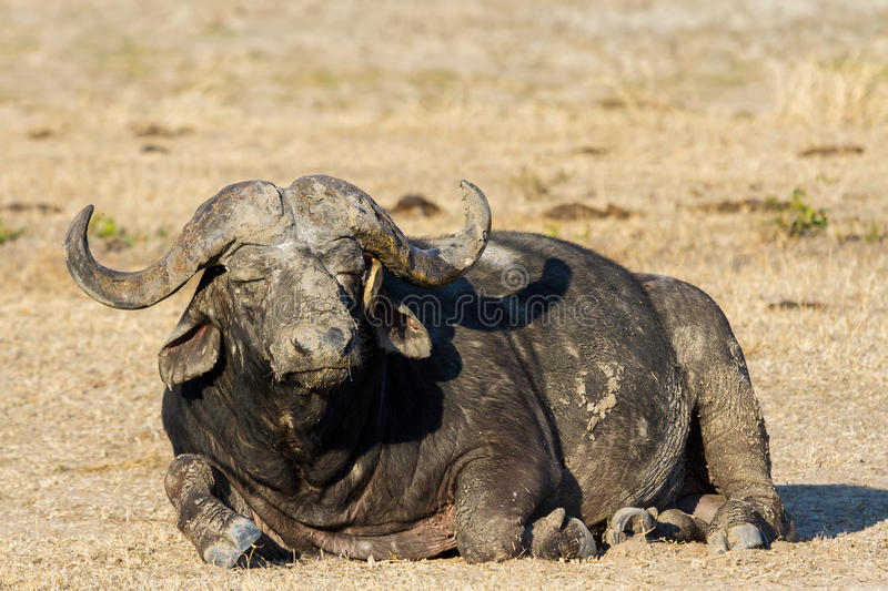 Tired Cape buffalo bull rolling in water pond to cool down stock images