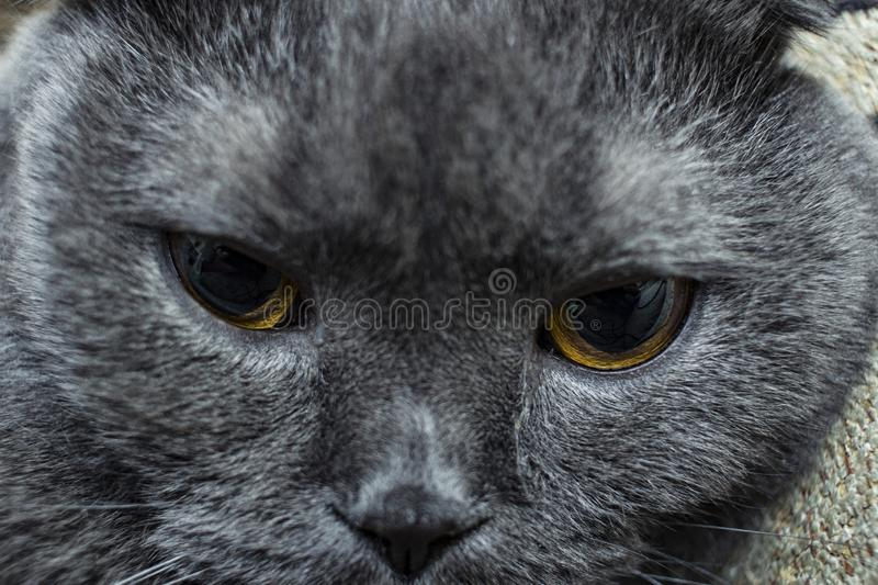 tired cat close-up muzzle, British breed. Selective focus, blur stock images