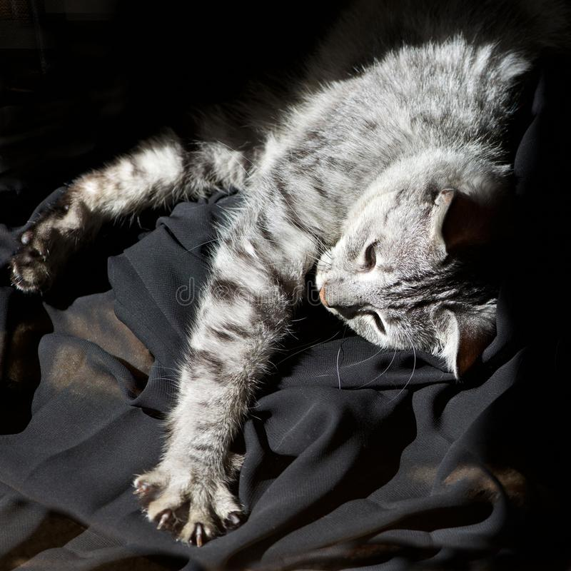 Tired cat, domestic cat in dark background on sunny day at home, tired grey cat, sleepy tired cat, cat, desaturated photo. Tired cat, domestic cat in dark stock photos