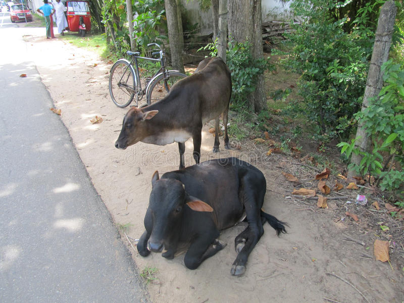 Tired cows resting at the street in Sri Lanka stock images