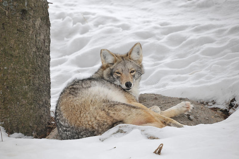 Tired Coyote Stock Photography