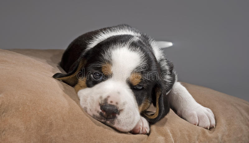 Tired cute puppy on pillow. A tired 3 weeks old Finnish Hound puppy lying on pillow, looking at camera stock images
