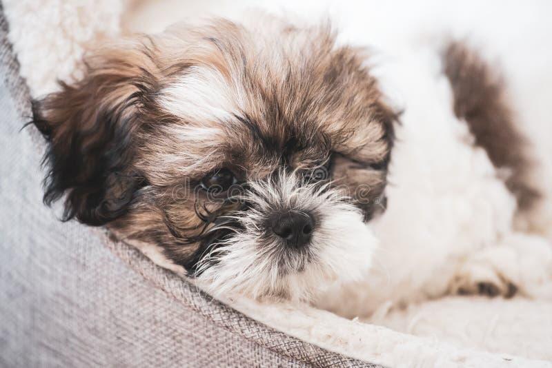 Tired,cute Shitzu puppy. royalty free stock photo