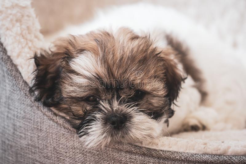 Tired,cute Shitzu puppy. royalty free stock image