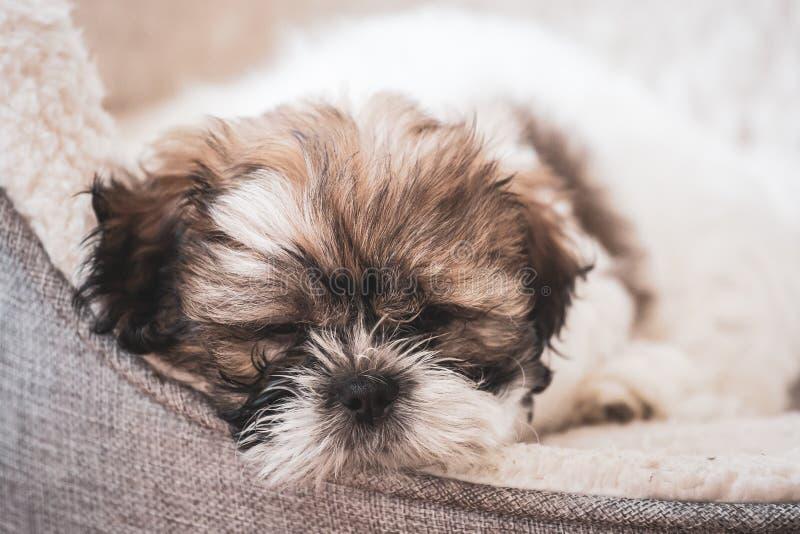 Tired,cute Shitzu puppy. stock photos