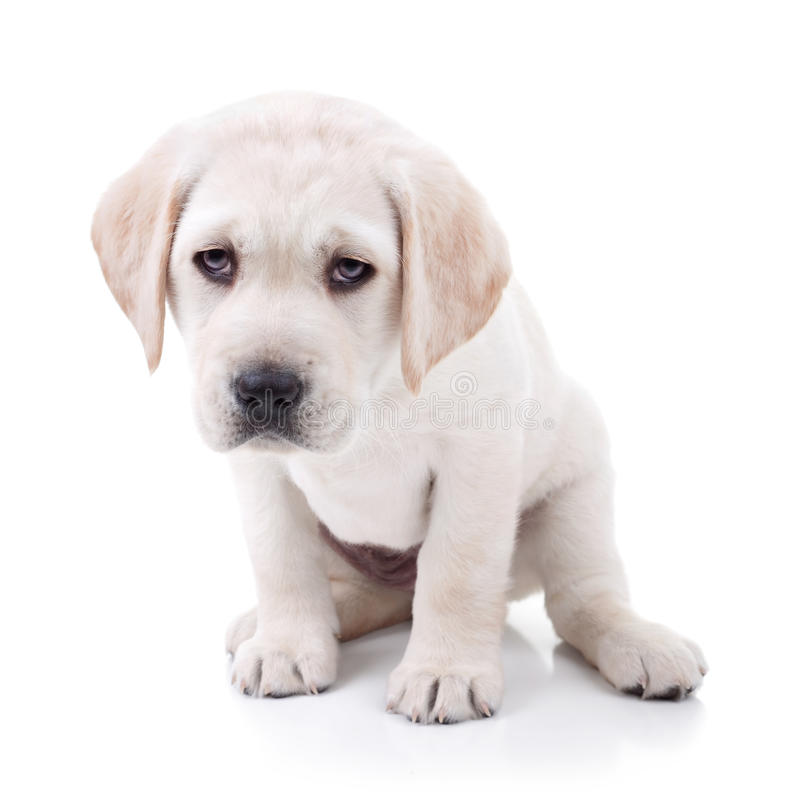 Tired Dog. Tired Labrador puppy dog isolated on white royalty free stock images