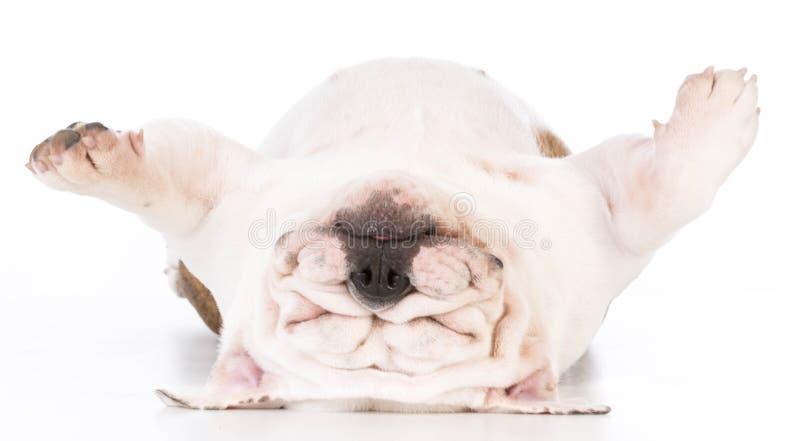 tired dog sleeping royalty free stock photo