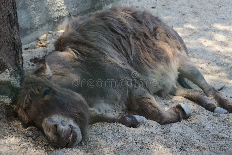 Tired donkey with closed eyes lying down on sand and sleeping stock images