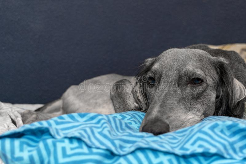 A tired gray greyhound resting on a blue pillow and white sheet. close-up. A pacified expression of the muzzle.  royalty free stock images