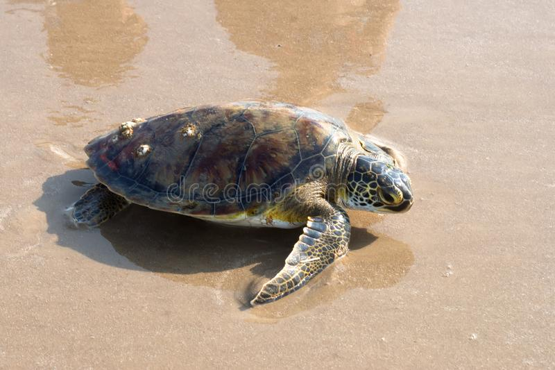 Tired Green sea  turtle Chelonia mydas tortoise crawling along the beach. Status  Threatened.  Texas, Gulf of Mexico.  stock photography