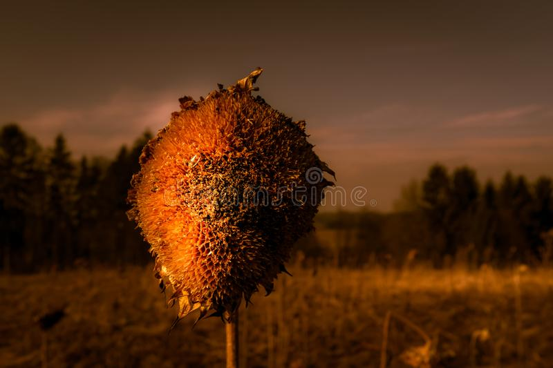 The tired Head of the Sunflower royalty free stock photography