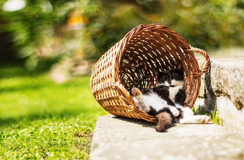 Tired kitten sleeping in shadow, resting on its back in funny position hidden in vintage vicker basket. During sunny day stock photography