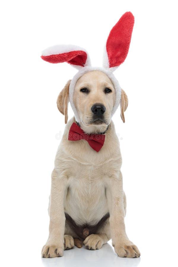 Tired labrador retriever puppy dressed as easter bunny royalty free stock photos