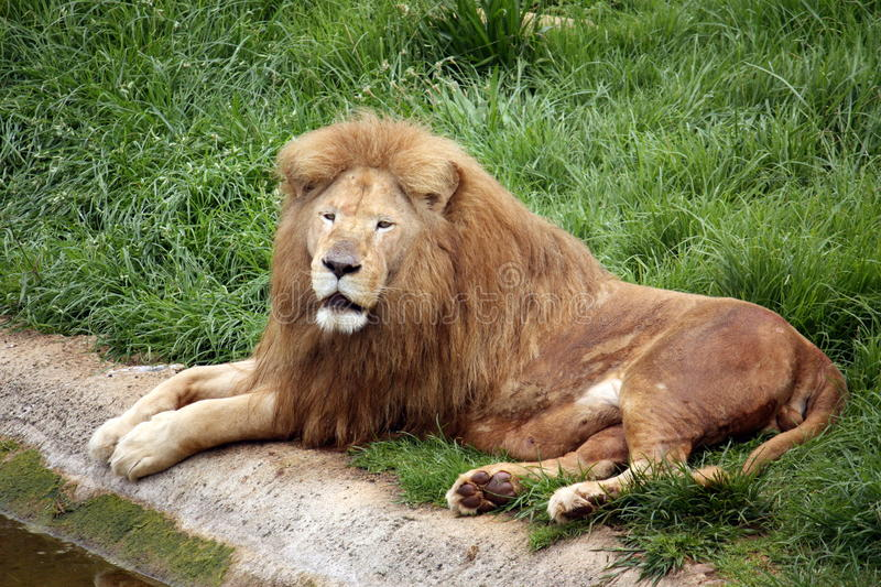 Download Tired Lion stock image. Image of nature, carnivore, fang - 12754453
