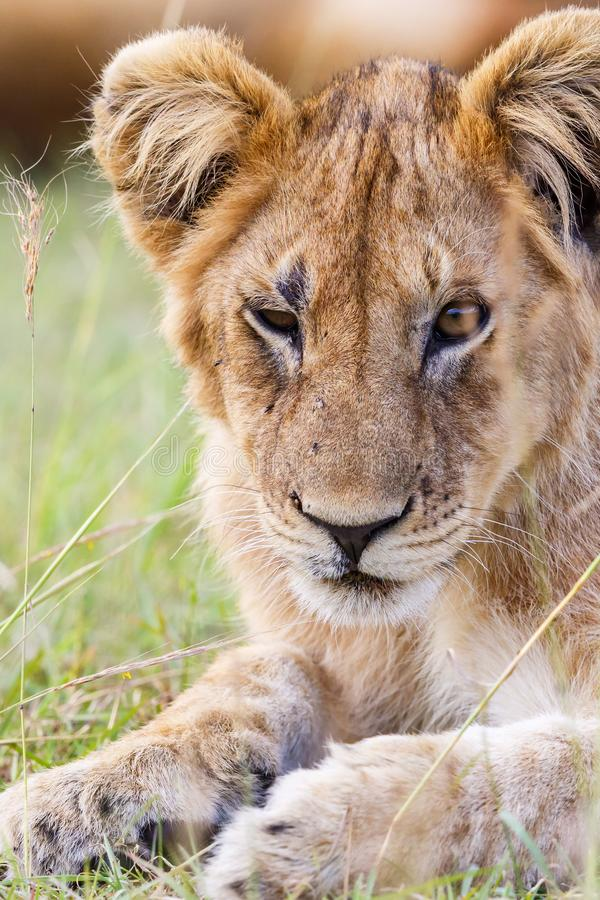 Lion cub lying in the savanna stock image