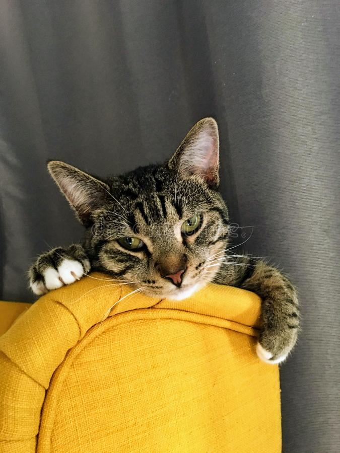 A tired older grey and brown striped kitten wearily resting her head on the top of a yellow chair with the curtains behind her. royalty free stock photography