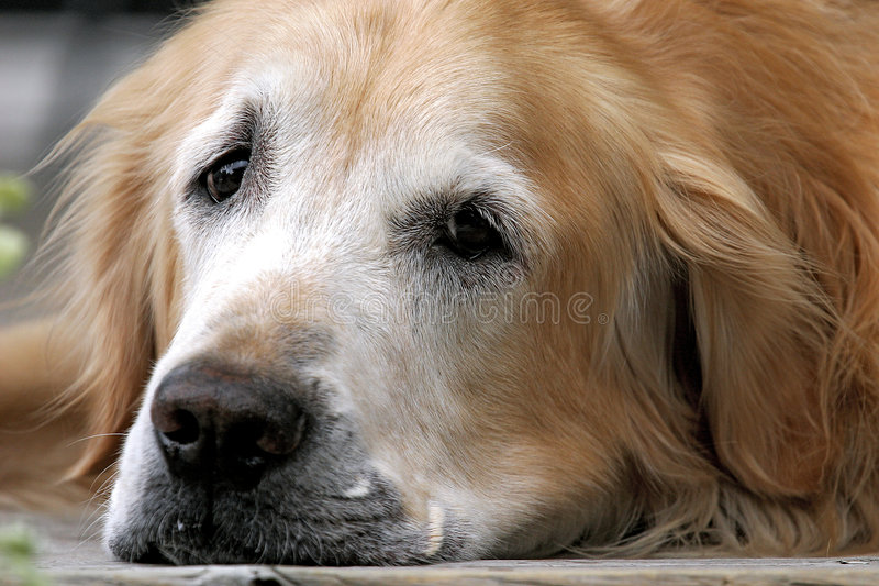 Download Tired Out stock image. Image of sleepy, retreiver, quincy - 452163
