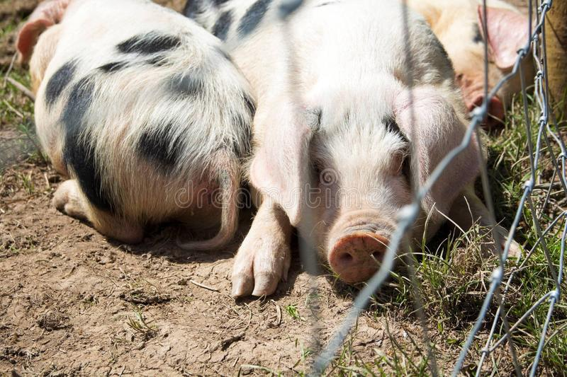 Tired pigs royalty free stock photo