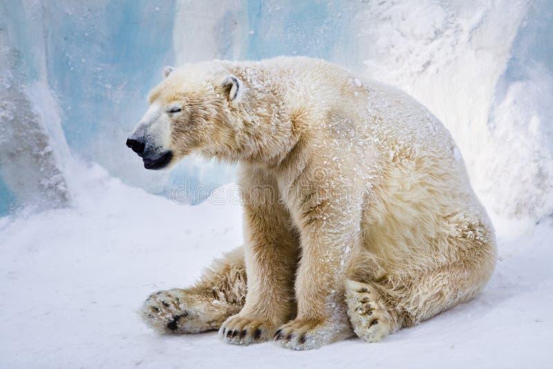 Tired polar bear yawning royalty free stock images