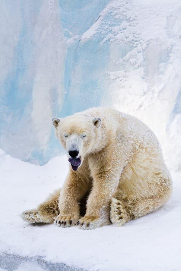 Download Tired polar bear yawning stock image. Image of wildlife - 12223829