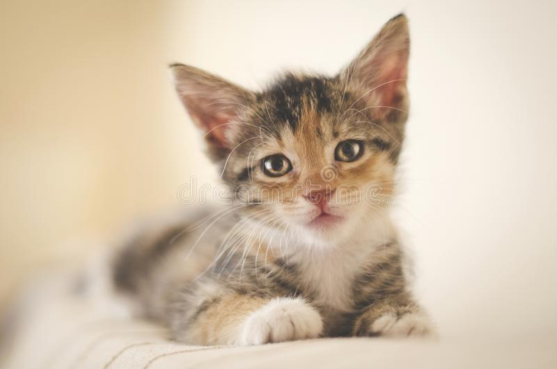 Tired rescued 6 weeks calico kitten with bright eyes looking at the camera and resting on the sofa stock photos