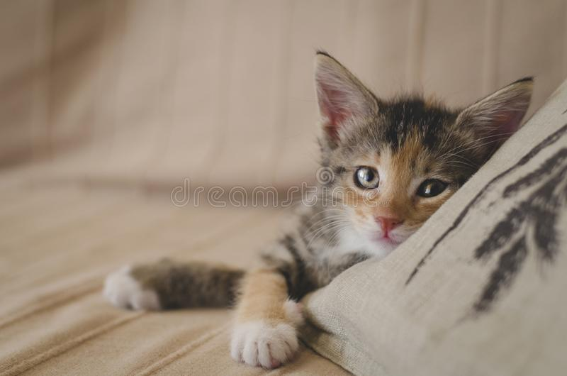 Tired rescued 6 weeks calico kitten with bright eyes looking at the camera and resting on the sofa. Space for text. Adopt don`t shop, spay and neuter, rescue stock photos