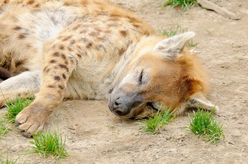 Tired spotted hyena