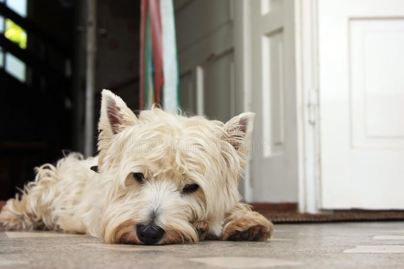Tired Westie royalty free stock photo