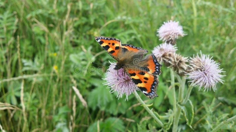 Tiree-Schmetterling lizenzfreie stockfotos