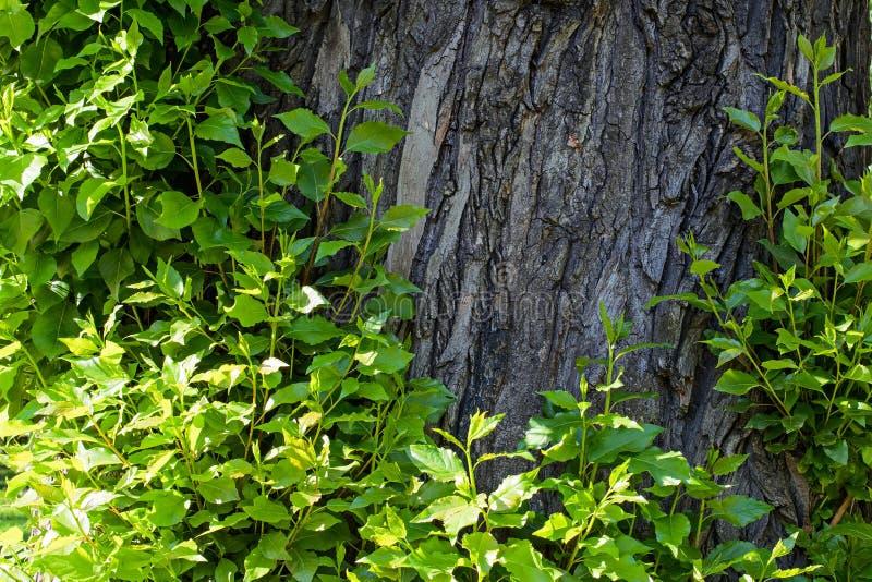 Tiri dei giovani sulla corteccia di un albero immagine stock