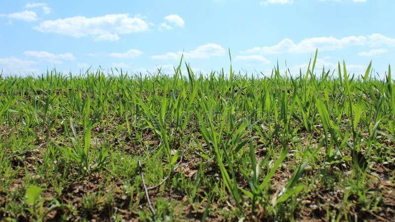 Tiri verdi freschi del grano sul campo in primavera L'inizio dei raccolti, la stagione delle verdure crescenti fotografie stock libere da diritti