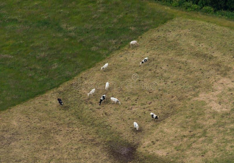 Tiro aéreo de las vacas que pastan en Azores imagenes de archivo