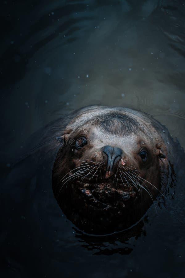 Tiro aéreo de um leão de mar bonito na água que olha acima na câmera fotos de stock