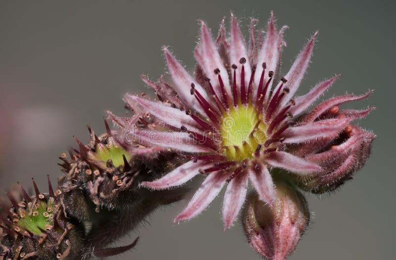 Tiro amarelo e cor-de-rosa do macro da flor foto de stock
