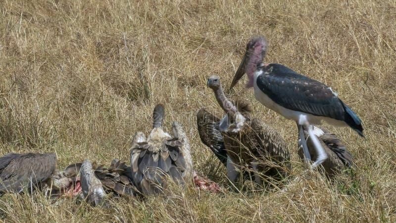 Tiro ancho de los buitres que alimentan en una cebra muerta en masai Mara fotografía de archivo libre de regalías