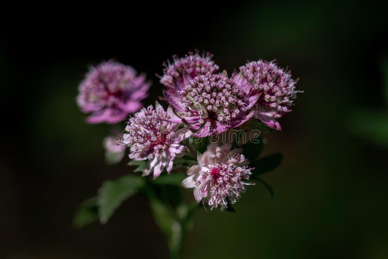 Tiro ascendente cercano cabezas de flor importantes del masterwort del astrantia púrpura y blanco de las grandes imagen de archivo libre de regalías