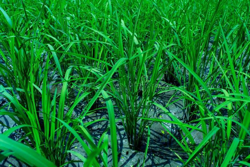 Tiro ascendente cercano de las hojas verdes del arroz en el campo del arroz fotografía de archivo