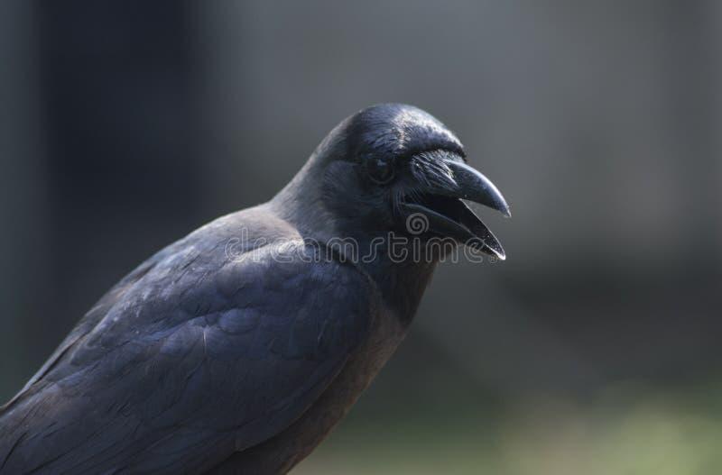 Tiro ascendente cercano de un cuervo negro fotografía de archivo