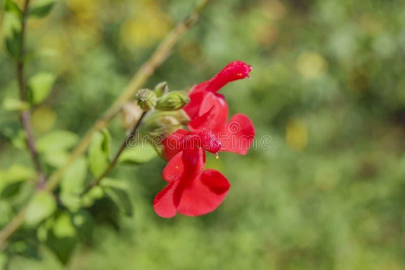 Tiro ascendente cercano del flor rojo de la flor del microphylla de Salvia fotos de archivo