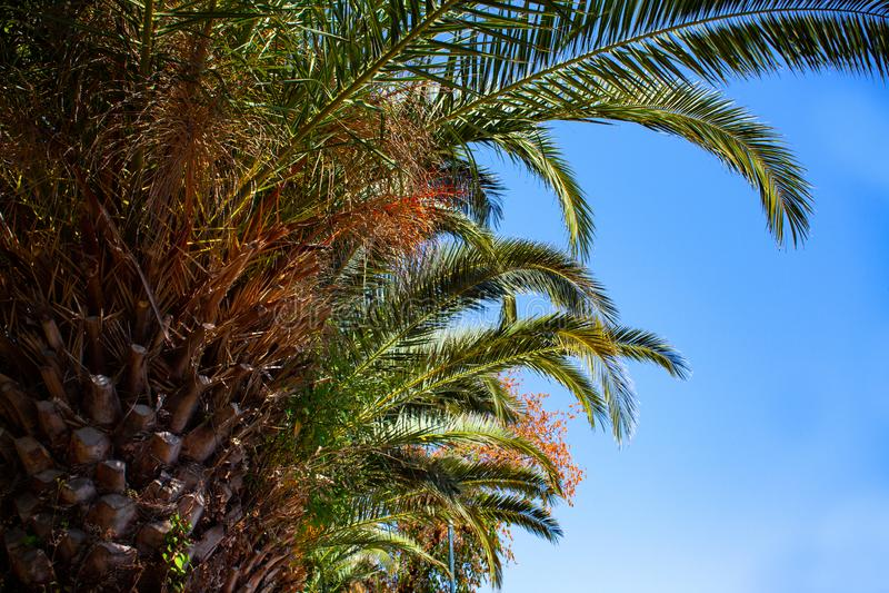 Tiro ascendente de la palmera alta debajo del cielo azul Luces LED minúsculas que brillan alrededor del tronco Punto bajo de la e fotografía de archivo