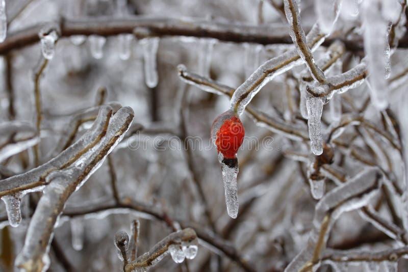 Tiro ascendente próximo da baga solated do rosehip e dos ramos de árvore vermelhos brilhantes cobertos com o gelo após uma tempes foto de stock royalty free