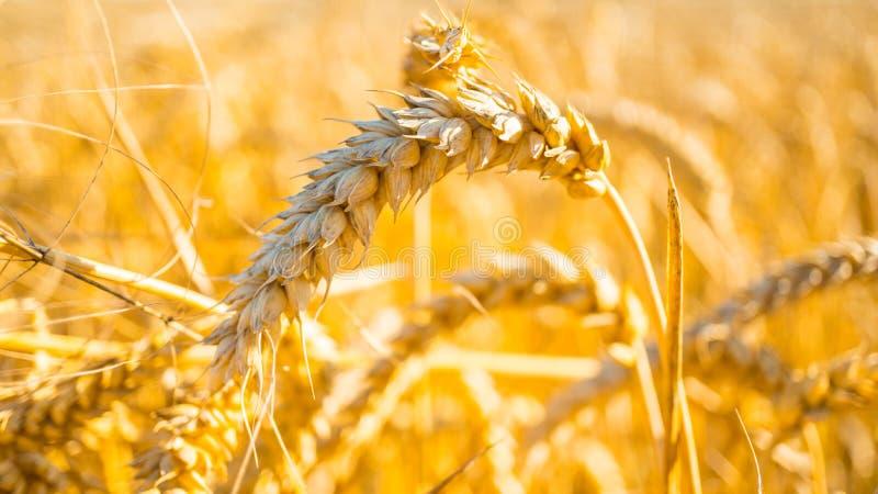 Tiro ascendente próximo do campo de milho amarelo no por do sol fotos de stock royalty free