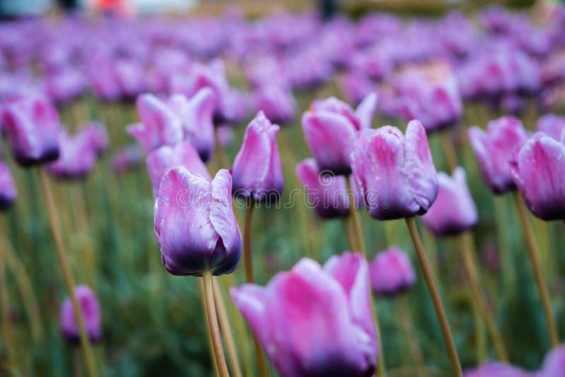 Tiro ascendente próximo do campo roxo da tulipa na ilha do moinho de vento em Holland Michigan foto de stock royalty free