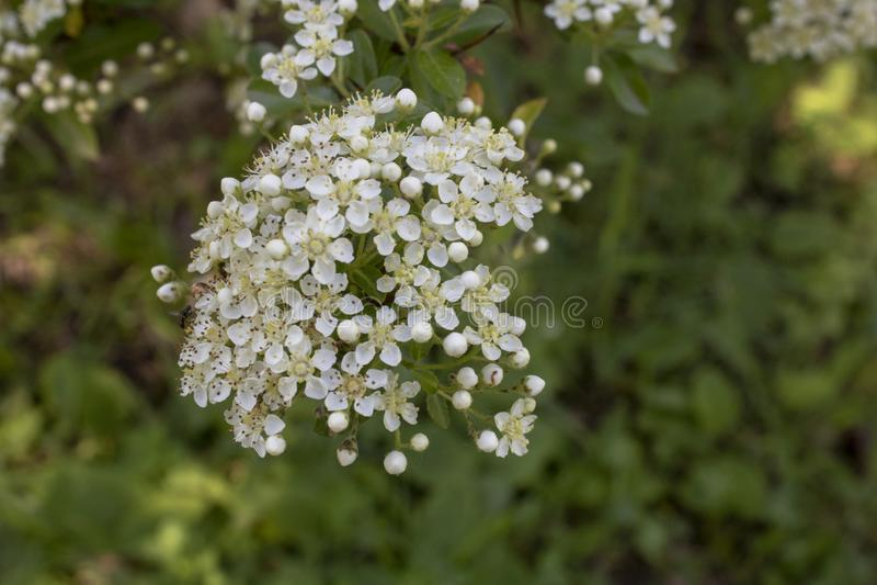 Tiro ascendente próximo do escarlate da flor do firethorn fotos de stock