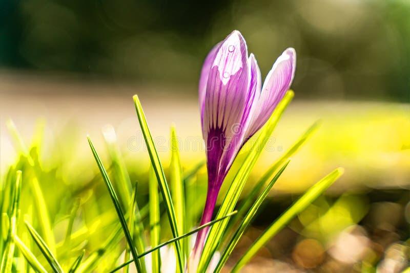 Tiro ascendente próximo do sp do açafrão dos açafrões flores em uma cama do jardim na flor completa imagens de stock