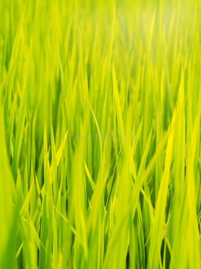 Tiro autêntico da exploração agrícola verde do campo do arroz em TAILÂNDIA imagens de stock