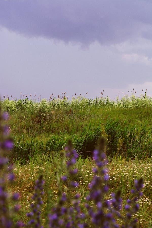 Tiro bonito de um campo da alfazema com as nuvens de surpresa no fundo fotos de stock royalty free