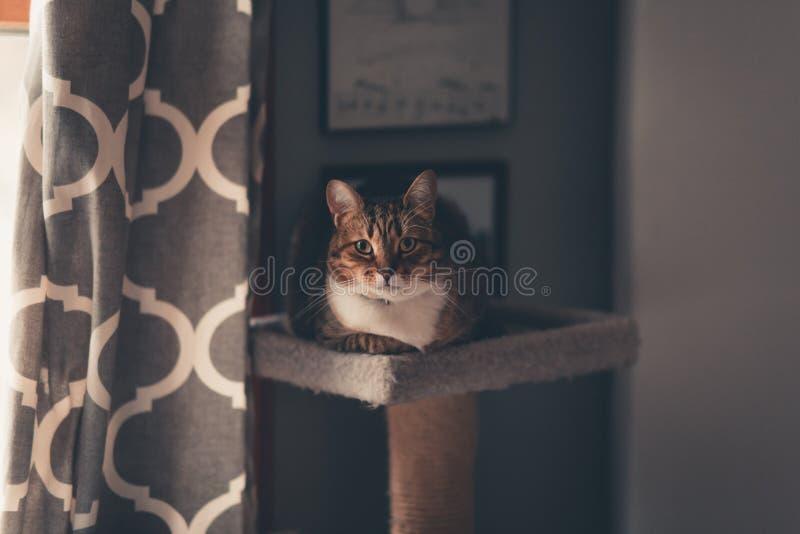Tiro bonito de um gato de gato malhado marrom que senta-se em olhar fixamente da árvore do gato fotos de stock